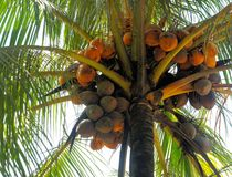 Ripe coconuts on top of the tree. Stock Image