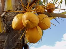 Ripe coconuts Stock Photo