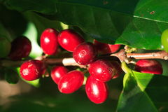 Ripe coffee. Beans on a branch, central america Royalty Free Stock Photos