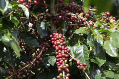 Ripe Coffee Bean Fruit Royalty Free Stock Images