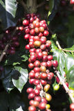 Ripe Coffee Bean Fruit Stock Image