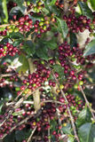 Ripe Coffee Bean Fruit Royalty Free Stock Image