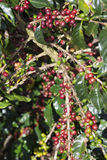 Ripe Coffee Bean Fruit Royalty Free Stock Photos