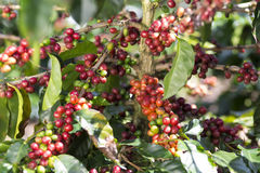 Ripe Coffee Bean Fruit Stock Photos