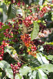 Ripe Coffee Bean Fruit Stock Photo