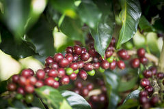 Ripe Coffee Bean Fruit Stock Images