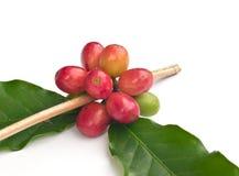 Ripe coffee beans . Stock Photo