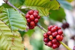 Ripe coffee beans Stock Image