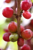 Ripe coffee beans on the branch Royalty Free Stock Image