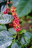 Ripe Coffee beans Royalty Free Stock Image
