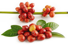 Ripe coffee beans Royalty Free Stock Photography