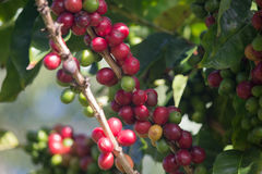 Ripe Coffee Berry Royalty Free Stock Photography