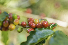 Ripe Coffee Stock Photography