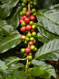 Ripe coffee fruit Royalty Free Stock Photo