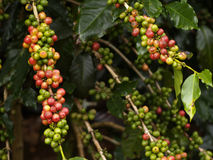 Ripe coffee fruit Stock Images