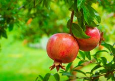 Ripe Colorful Pomegranate Fruit on Tree Branch stock image