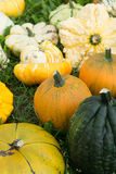 Ripe colorful pumpkins, new harvest, ready to cook and for decor Royalty Free Stock Image