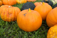 Ripe colorful pumpkins, new harvest, ready to cook and for decor Royalty Free Stock Photography