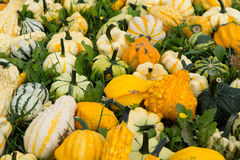 Ripe colorful pumpkins, new harvest, ready to cook and for decor Stock Photography