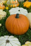 Ripe colorful pumpkins, new harvest, ready to cook and for decor Stock Image