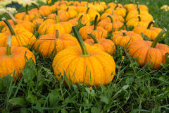 Ripe colorful pumpkins, new harvest, ready to cook and for decor Royalty Free Stock Images