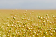 Ripe Commercial Flax Crop Stock Images