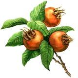 Ripe common medlar fruit, loquat, mespilus germanica, isolated, watercolor illustration Stock Images