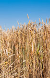 Ripe common wheat against a blue sky Stock Photography