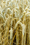 Ripe Common wheat Royalty Free Stock Photography