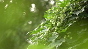 Hop bush in windless weather. Agriculture and beer making concept. Slow motion. 1080p full HD video. Ripe cones of hops on a green bush. Beer production stock video footage