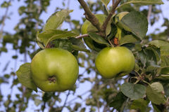 Ripe Cooking Apples On Tree Stock Photo