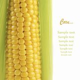 Ripe Corn Stock Images