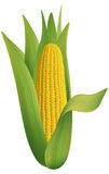 Ripe corn. Stock Photos