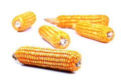 Ripe corn Royalty Free Stock Photo