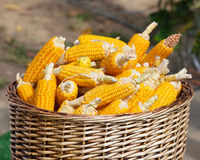 Ripe corn in basket Royalty Free Stock Photos