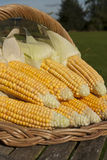 Ripe corn bunch on basket Stock Photography