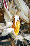 Ripe corn-cob. Ripe yellow corn-cob at the plant shortly in before the harvest Stock Photos