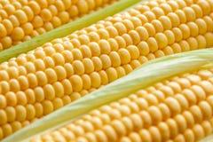 Ripe corn cob close-up. Stock Images