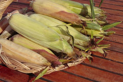 Ripe corn cob closeup Royalty Free Stock Images