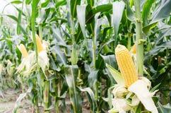 Ripe corn cob in corn field Stock Images