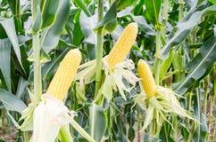 Ripe corn cob in corn field Royalty Free Stock Photo