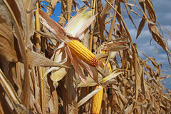 Ripe corn stock photo