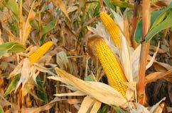Ripe corn cob stock images