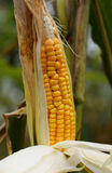 Ripe corn on the cob. In a field ready for harvest Royalty Free Stock Image