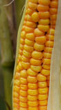 Ripe corn on the cob. In a field ready for harvest Stock Photo
