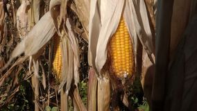 Ripe corn cob in the field. Swaying in the wind stock footage