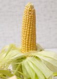 Ripe corn on the cob Royalty Free Stock Images