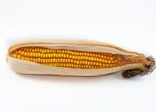 Ripe corn cob isolated on white background. Autumn concept Stock Photos