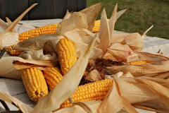 Ripe corn cob. Many ripe corn cob scattered in disarray with dry leaves around Stock Photos