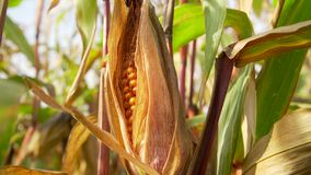 Ripe corn on the cob. In the field stock footage
